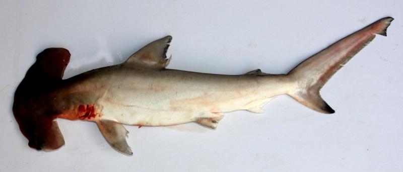 公子鲨hammerhead 2