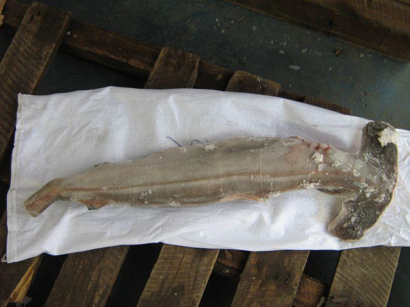 hammerhead shark gutted