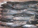 炸弹鱼Bonito tuna
